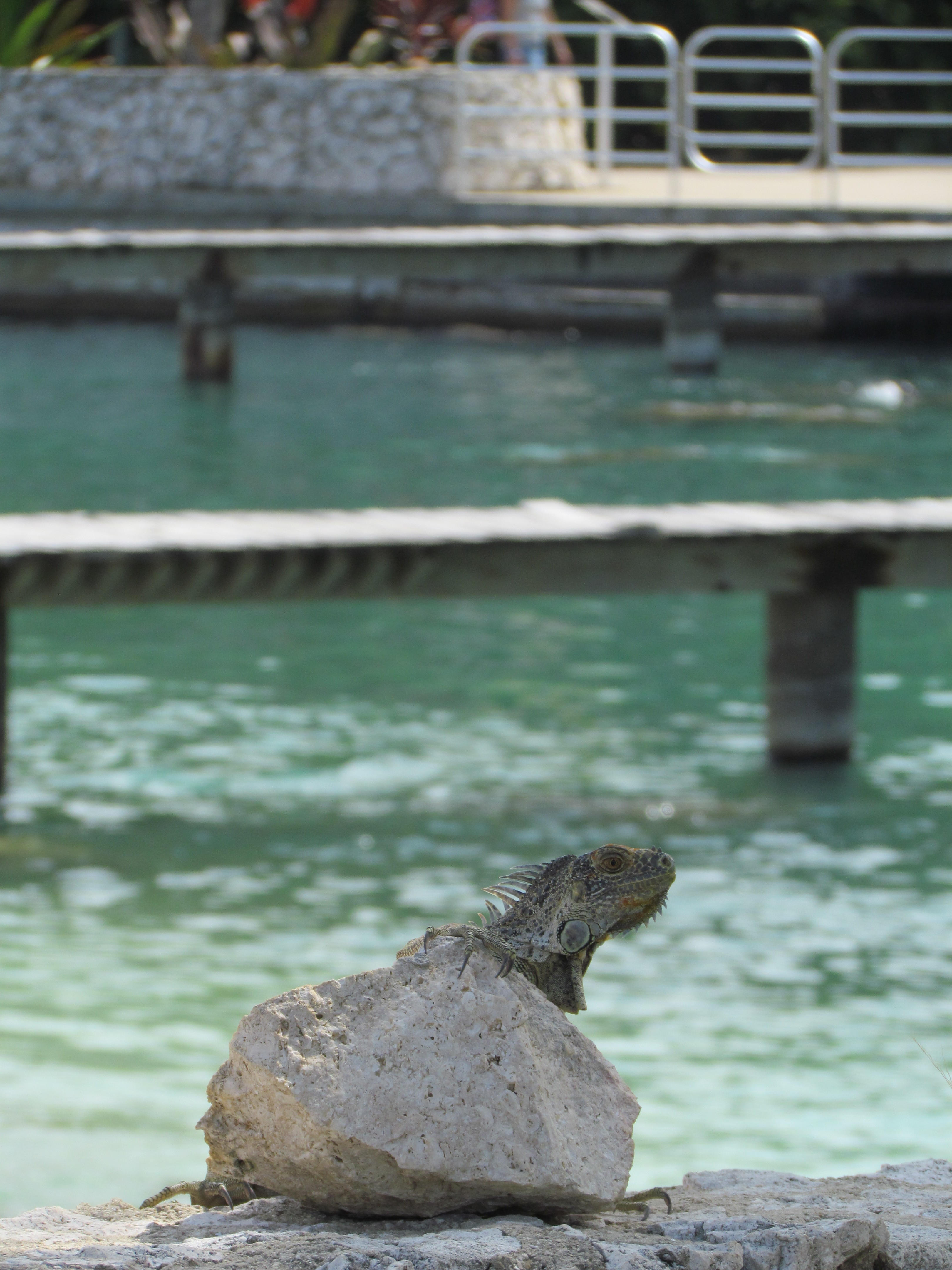 Iguana on a rock at the Turtle Farm in Grand Cayman, Cayman Islands